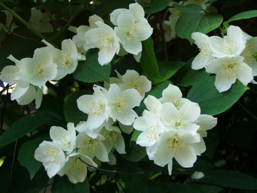 white-flowers-est.jpg