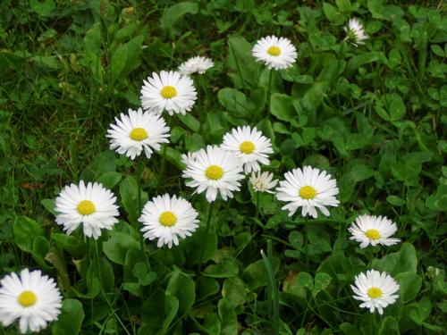 est_rakevere-daisies.jpg