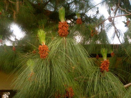 pineapple-pine-2.jpg
