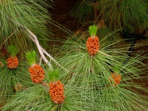 pineapple-pine-a.jpg